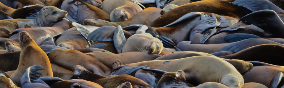 jason lycette photo astoria sea lions