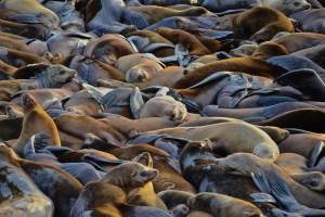 crowd of sea lions on Astoria docks