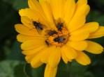 Calendula flies