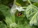 Borago alba with bumble bee
