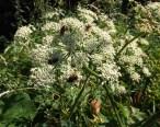 Hogweed hosts several pollinators