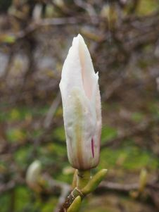 White Magnolia Breaking