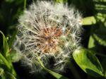 Dandelion (Taraxacum officinalis)