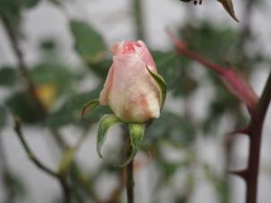 Resilient Rose