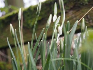 Snowdrop buds