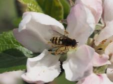 Apple blossom & Hoverflie