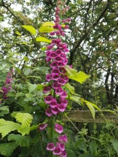Digitalis purpurea Foxglove