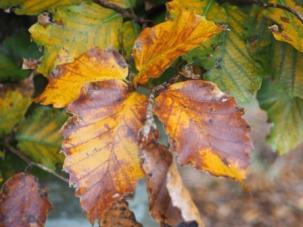 Beech coloured autumn