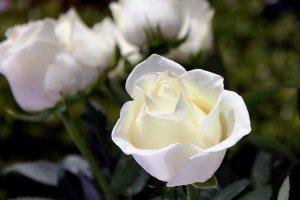 white, flowers, spring