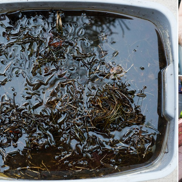 Tea Time! We Serve Our Garden Homemade Liquid Kelp Fertilizer