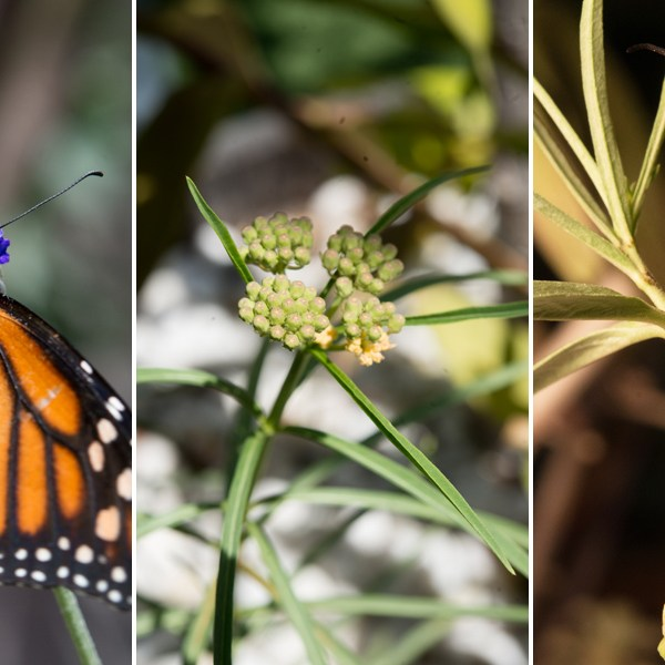 Royals: When a Very Hungry Monarch Caterpillar Meets a Native Milkweed