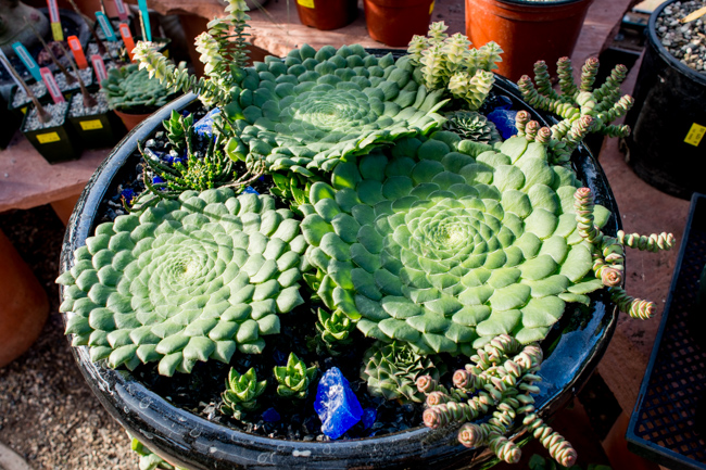 Unusual Succulents Sale