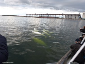 Beluga Whales in the Churchill River