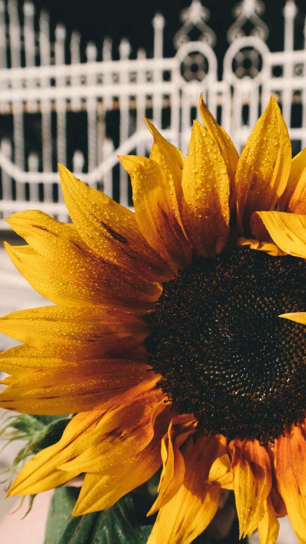 Sunflower, garden