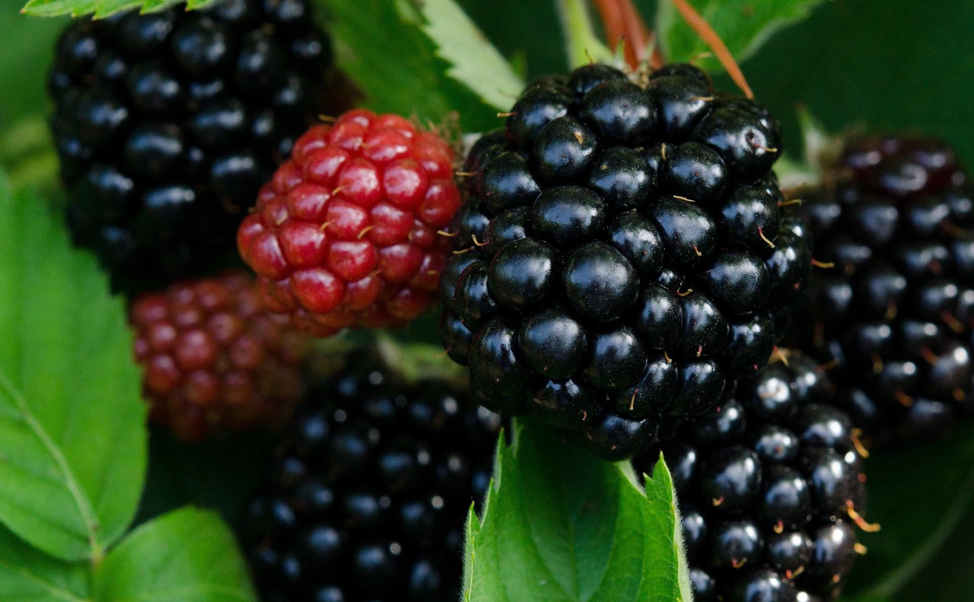 Berry, shrub