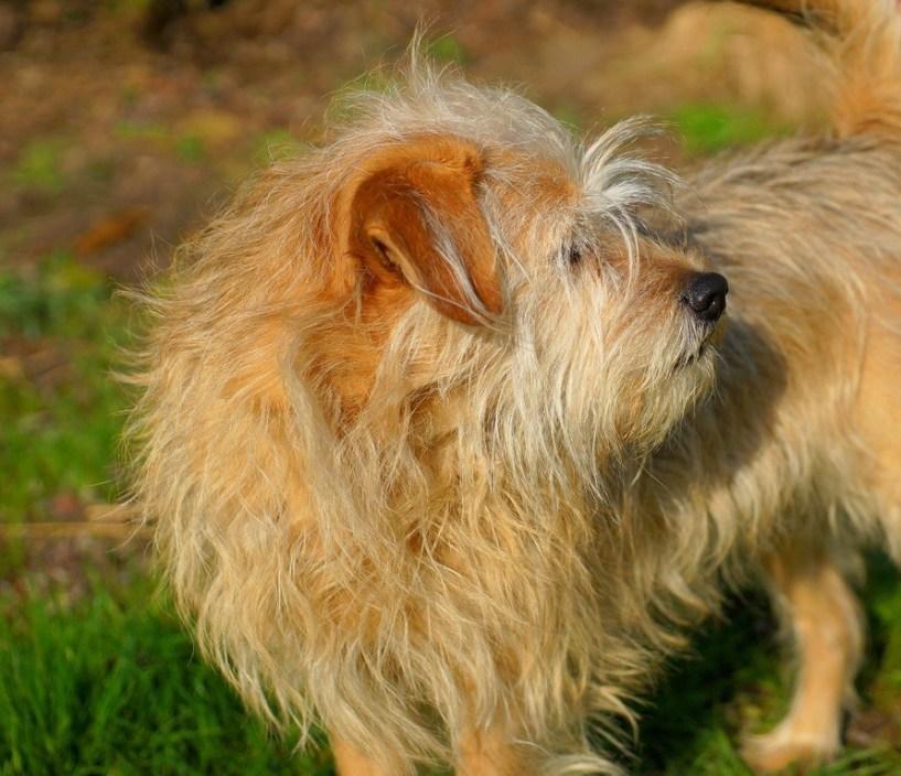 Dog, long fur