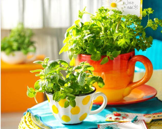 Mugs planters, herbs