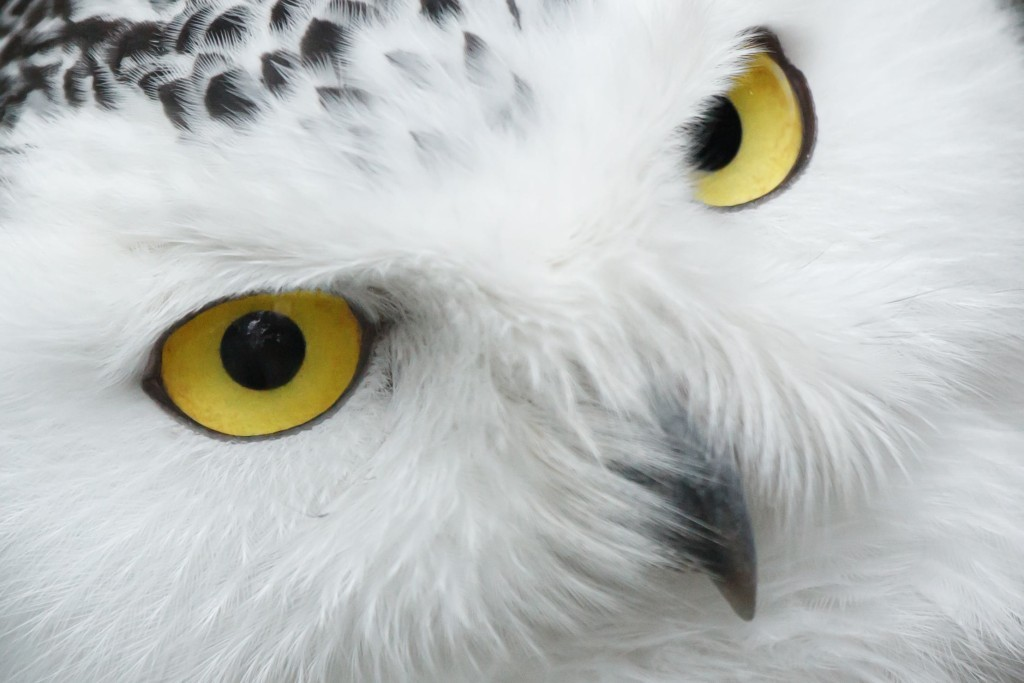 Owl eyes