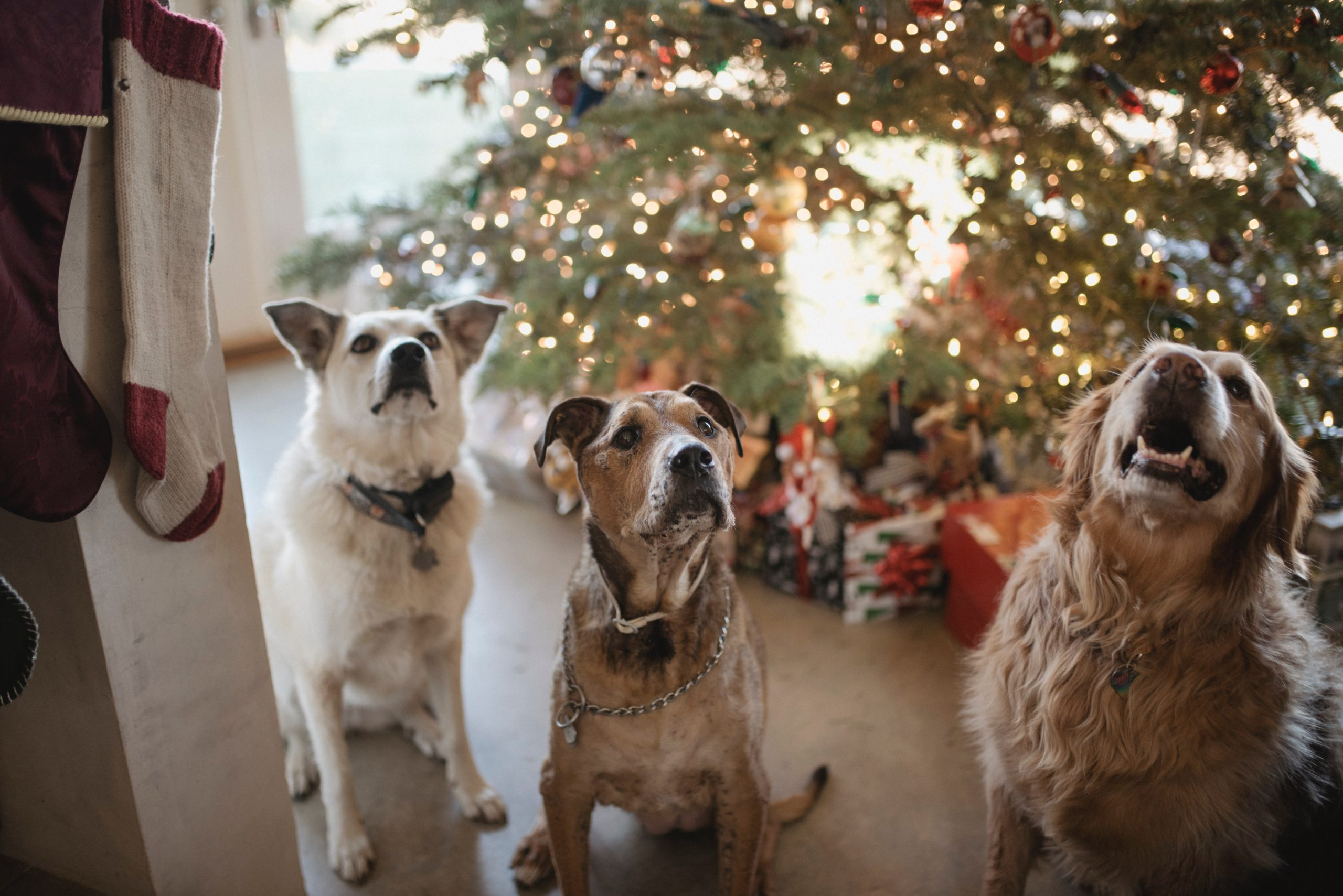 Stocking stuffers for dogs, dogs with stockings