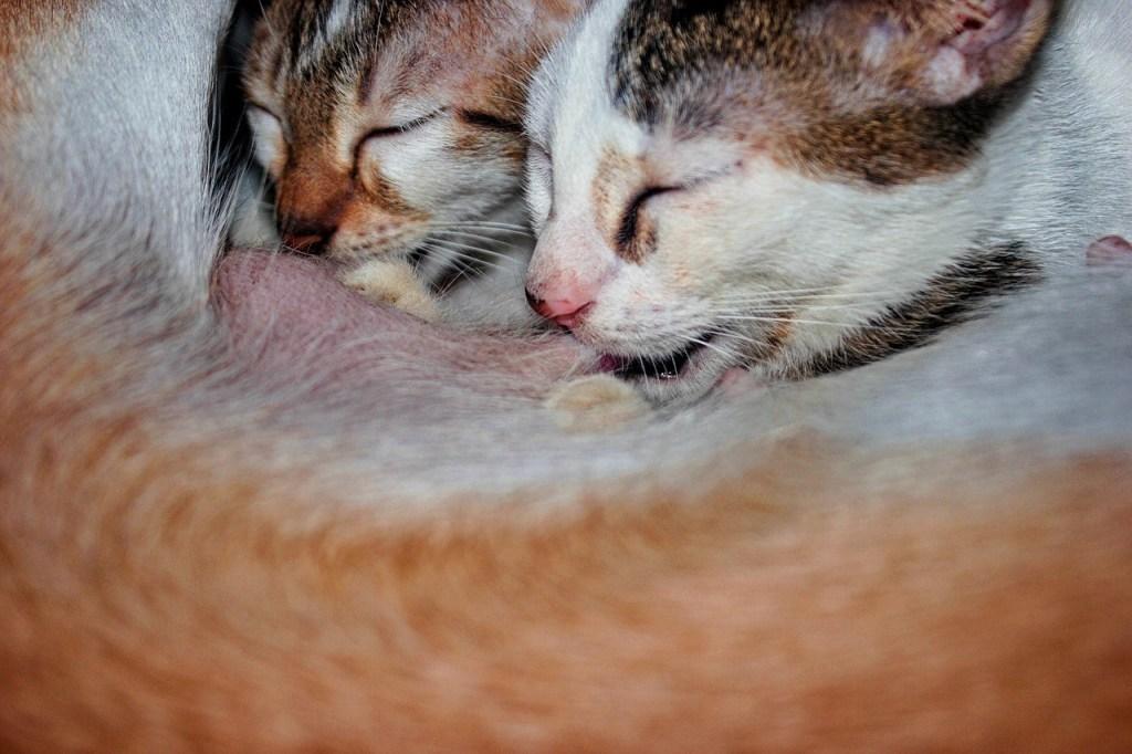 Kittens feeding on mother
