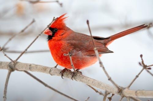 snow, red cardinal bird sitting on branch