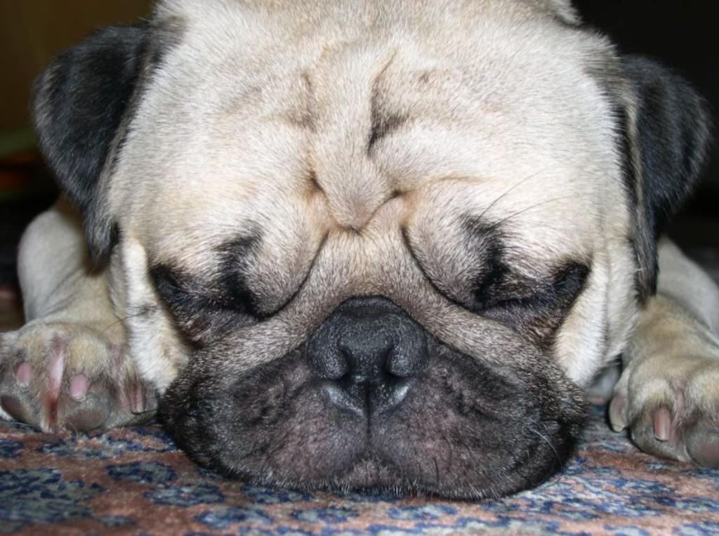Pup face -- The Hot Met Press