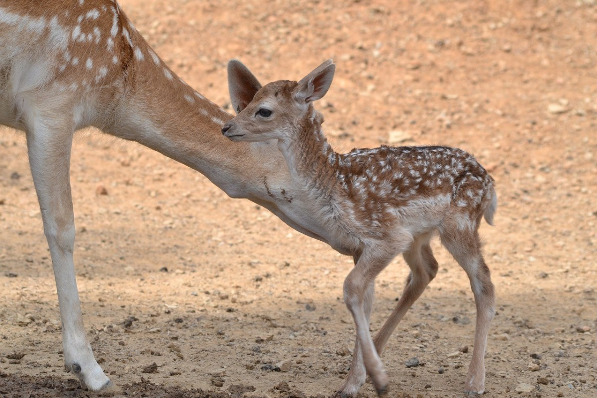 Baby deer and mother