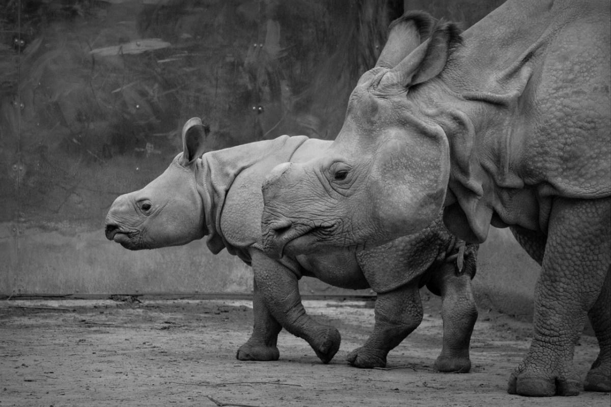 Mom and child Rhino