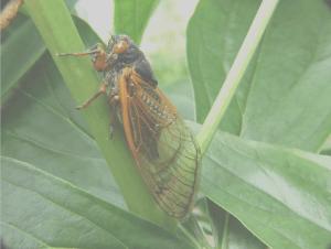 Cicadas, insect on green leaf