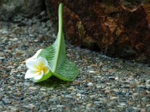 Jasmine bloom
