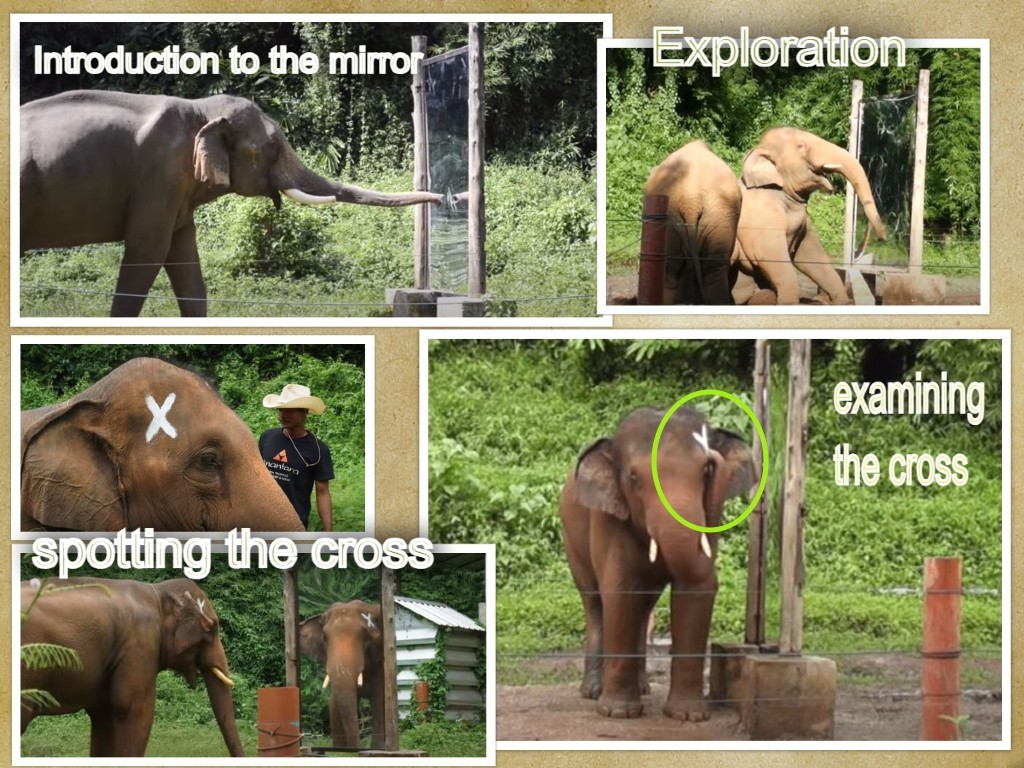 Elephant Mirror Test