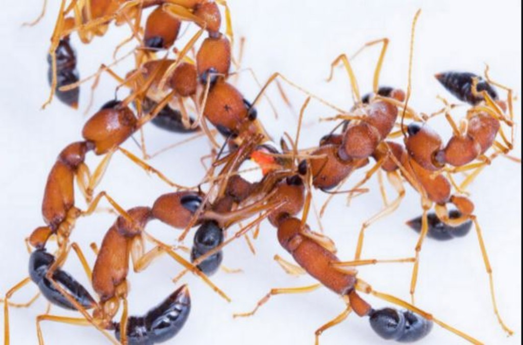Indian jumping ants