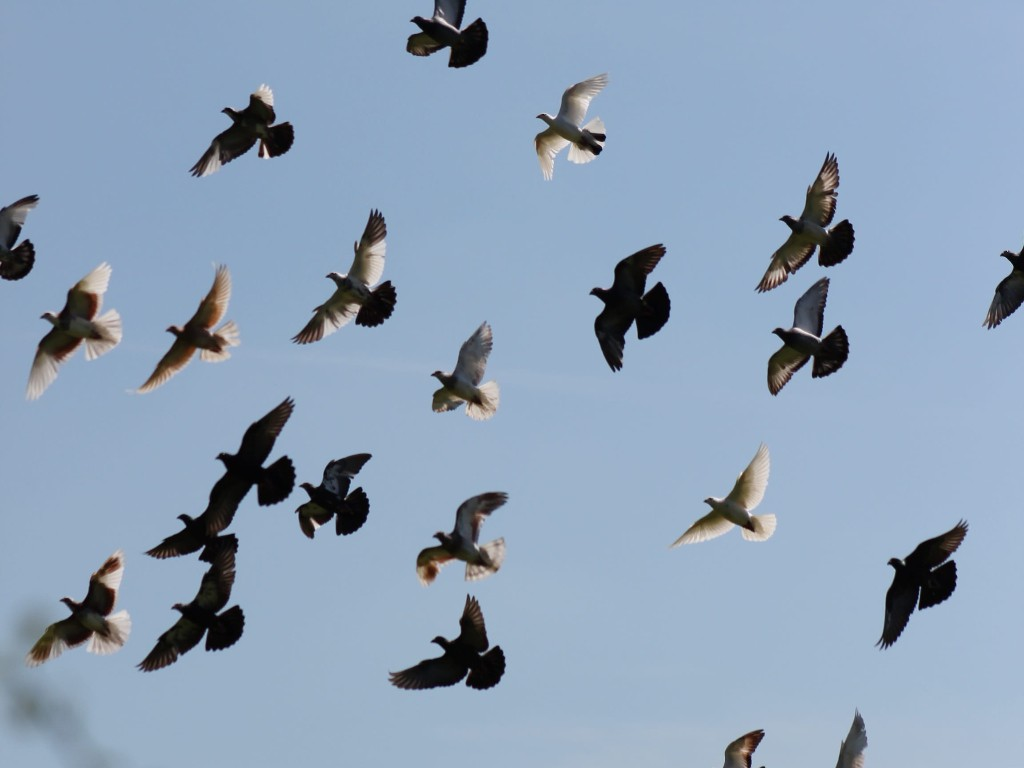 Voters in Nature homing pigeons