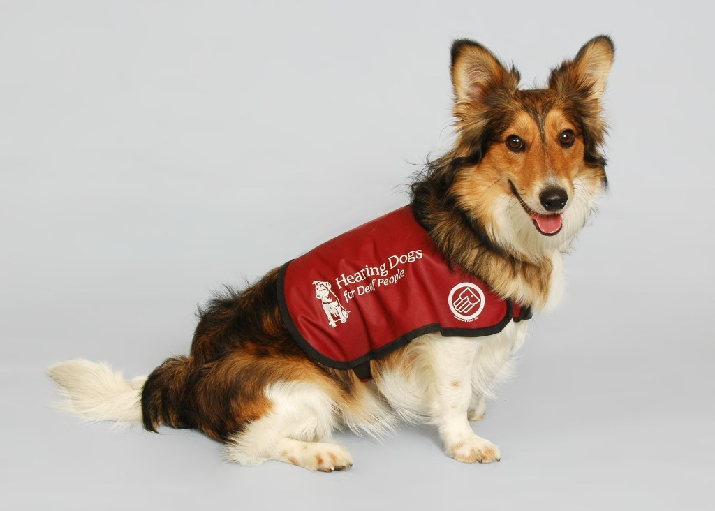 Working dog for the deaf
