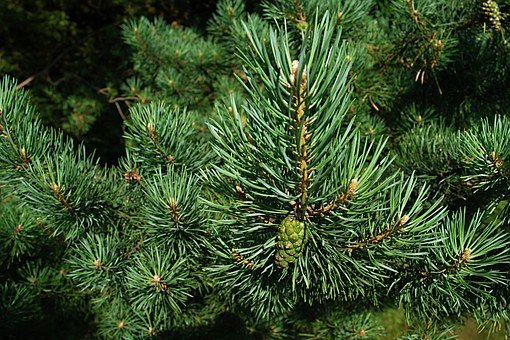 pine needles, branches