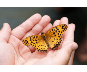 butterfly host plants, spotted golden butterfly resting in a person's hands