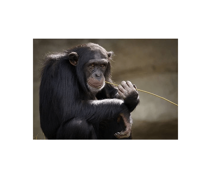 chimpanzee, chimp with blade of grass in mouth