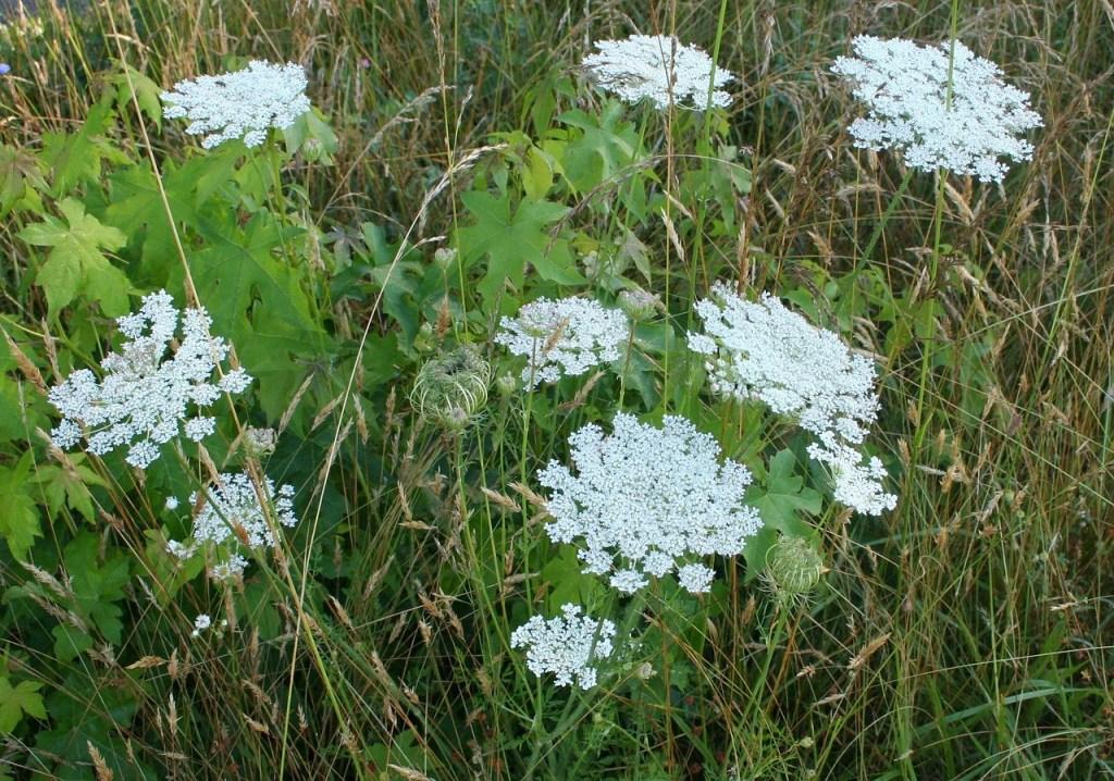 Queen Anne's Lace plants