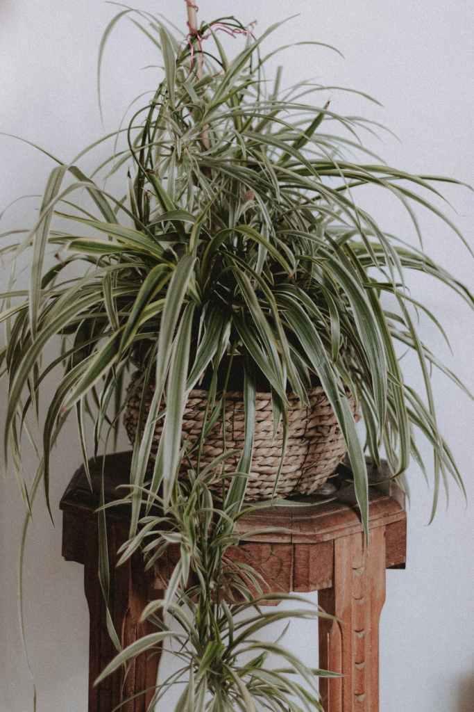 Plants, chlorophytum cromosum in a pot on a stool