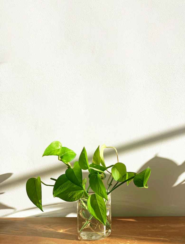 pothos ivy in a glass of water