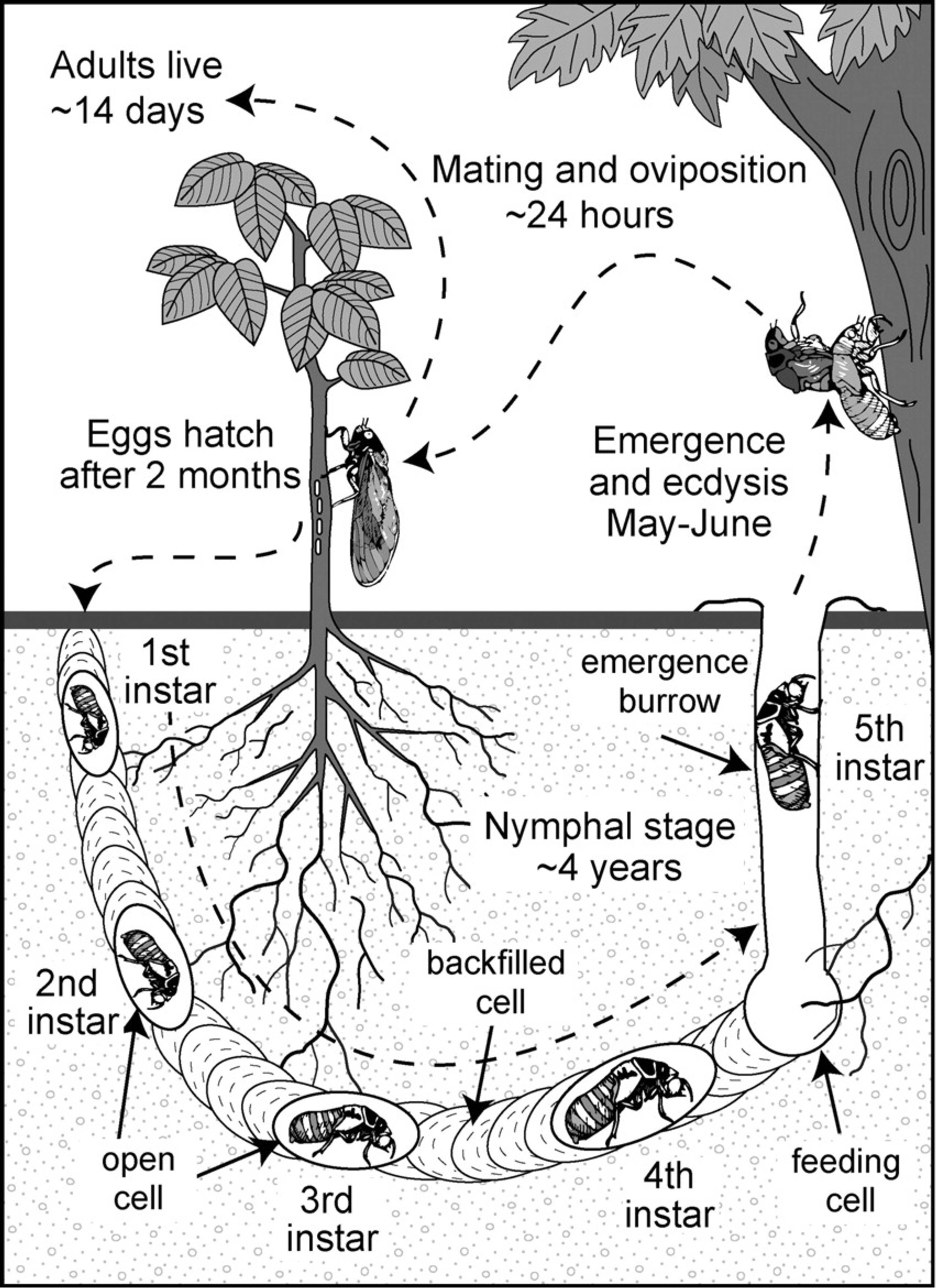 Cicada Life Cycle Images