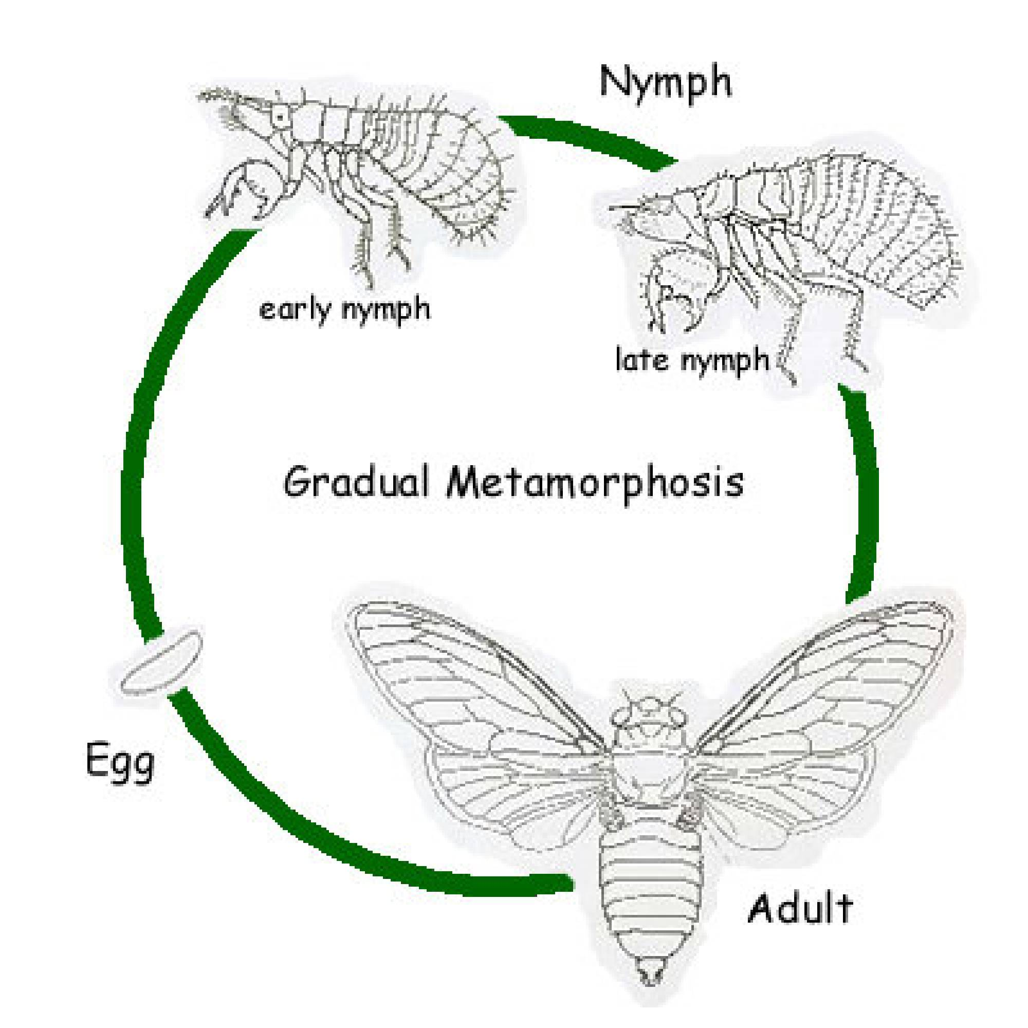 Life Cycle Of The Cicada