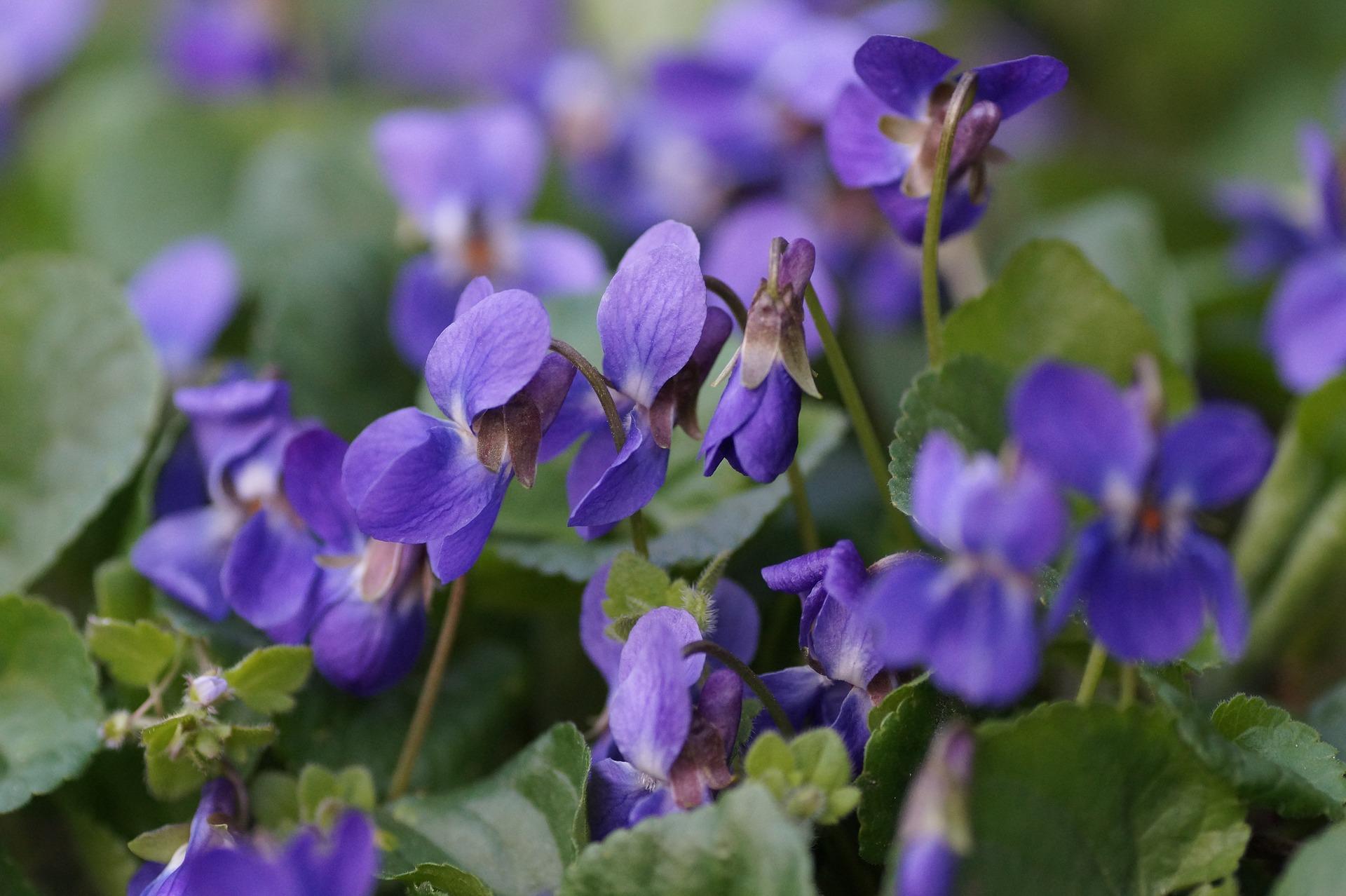 Plant Profiles – Wild Violet