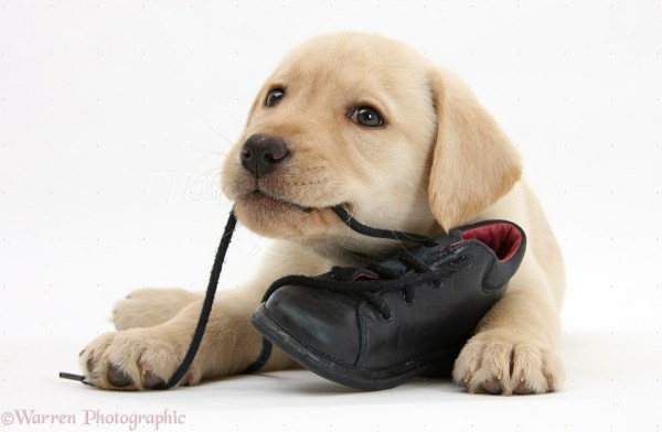 Yellow Labrador Retriever Pup 8 Weeks Chewing Child Shoe House Of Vines
