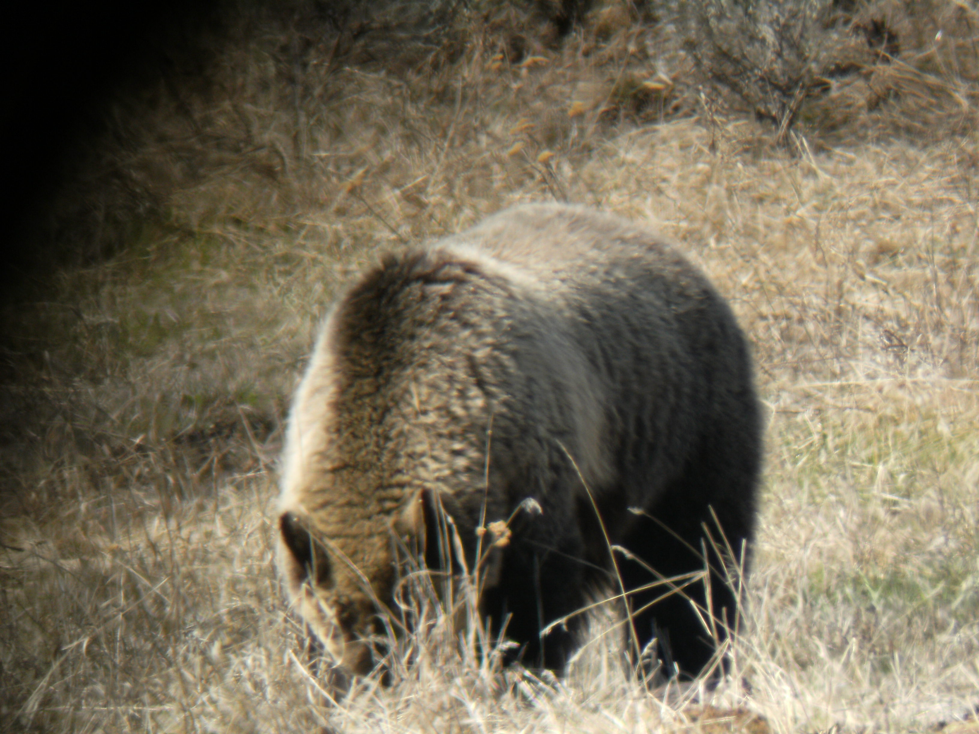 Grizzly rooting around