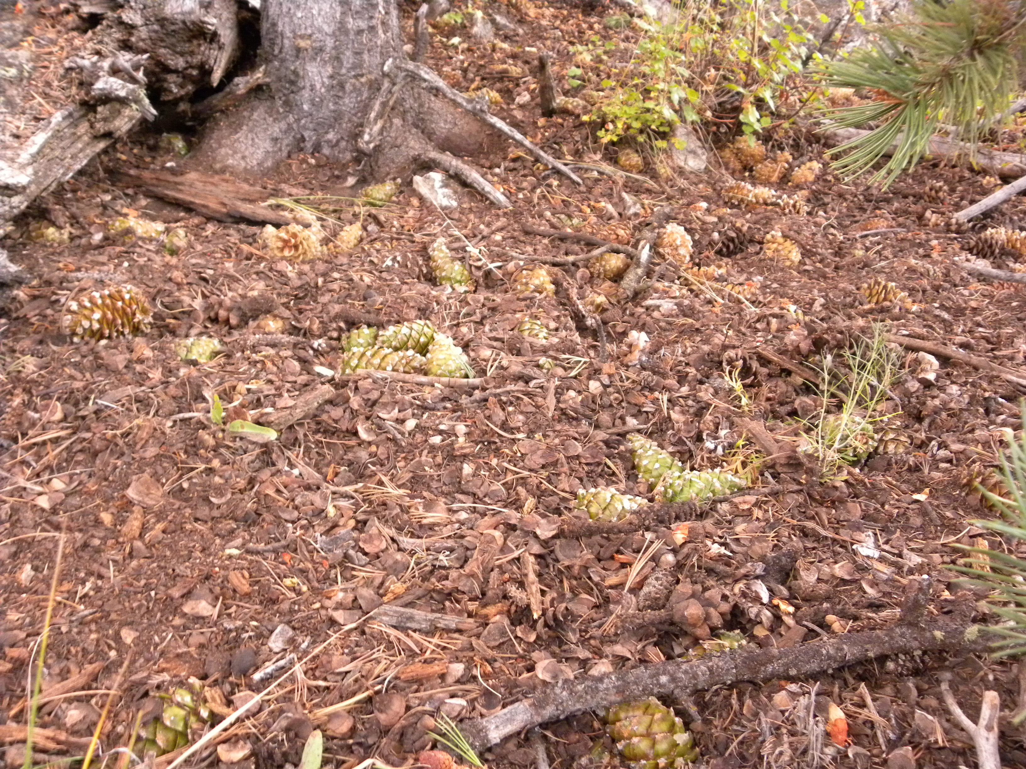 Limber pine middens.  There's lots more than shown and much is buried