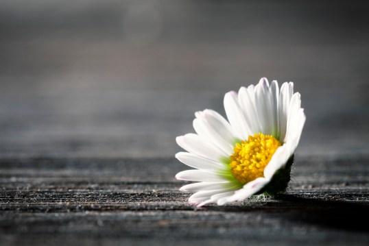 daisy (reduced)