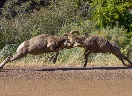 rams-head-butting-shutterstock_487481284