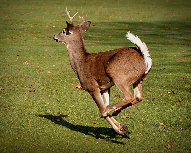 What Is A Cull Buck?