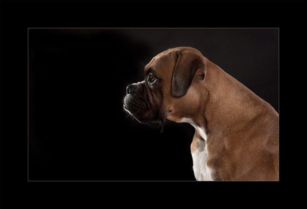Glasgow photographers pet Boxer dog